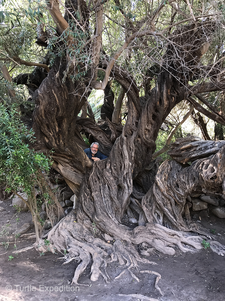 This massive olive tree stands in the first orchard planted in Baja California - 400 years ago!