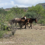 Horses, burros and cattle are an ever present danger on Baja roads.