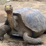 Lonesome George, was the last known survivor of the giant Galapagos Tortoise (C.n.abingdoni) on the Pinta Island.