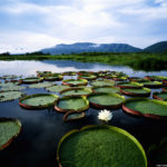 Water lilies (Victoria regia) at sunrise (Getty Images)