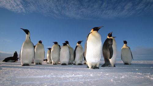 A full-grown penguin can be over 4 feet tall.