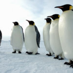 "The Emperor Penguin received its name because they are the ""top king"" of all penguins. They may travel up to 70 miles in one trip to get food."