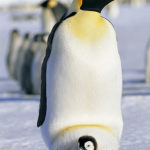 Penguins lay a single egg and parents take care of the chick alternatingly while the other travels to the sea to feed.