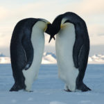 In March or early April the Emperor Penguins form breeding pairs.