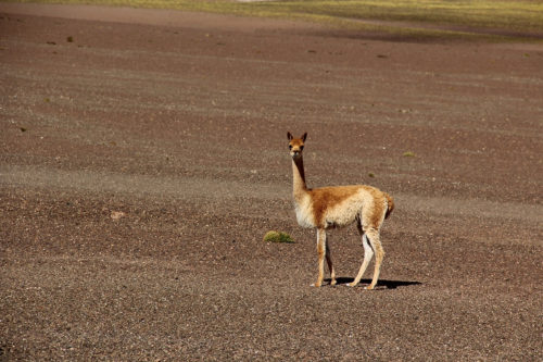 Vicuñas are related to the llamas and alpacas but have never been domesticated. We hope to see some again.